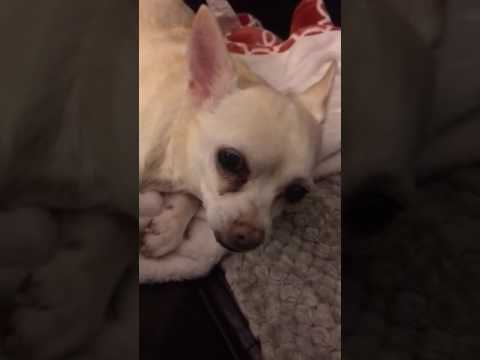 chihuahua-has-congestive-heart-failure.