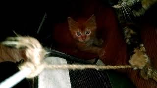 Мимишишный котик Мейн кун красного тигрового окраса. Real cat Maine Coon red tiger color