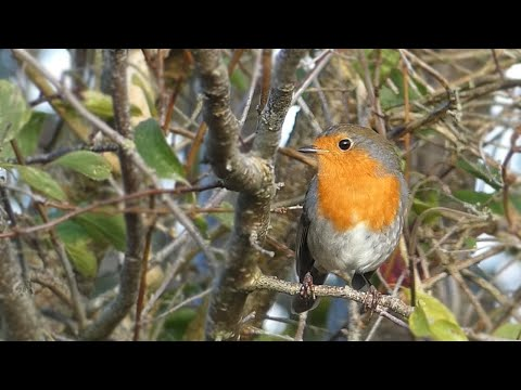 European Robin Alarm Calls and Song