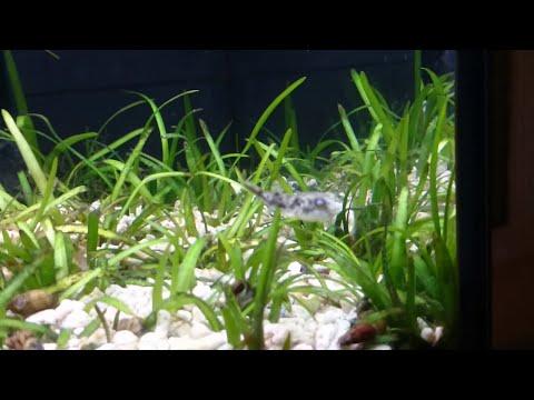 Fahaka Puffer Fry. New Fish Tetraodon Lineatus 1 Inch.
