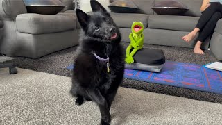 Moonshine's Excellent Adventures  A day in a life of a Schipperke!