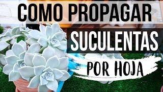 REPRODUCIR SUCULENTAS FÁCIL Y RÁPIDO 2018- PROPAGACION POR HOJA