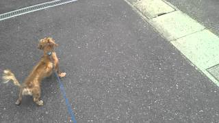 発病から6か月・・・ 走れるほど良くなりました。 犬は、フローリング...