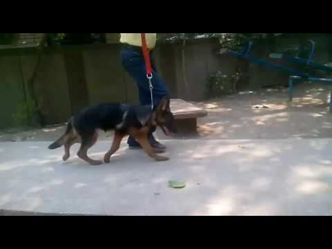 Alsatian puppies for sale in delhi 9999039993  alsatian dog for sale in india delhi NCR dog kennel i