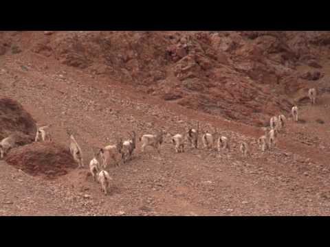 видео: wildlife of eastern pamirs: Природный мир Восточного Памира