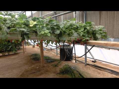 Bio Bees pollinate inside green house Arava Desert Israel