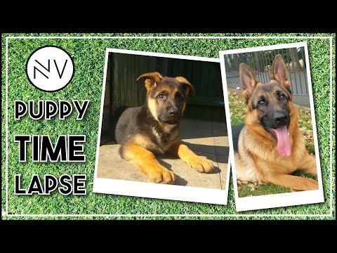 German Shepherd Puppy Growing Up (8 Weeks - 1 Year In 3 Minutes) | NerdVlog