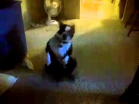 Boston Terrier  Butt Dance