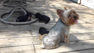 Litter Of Akc Teacup Party Yorkshire Terrier Puppies For Sale