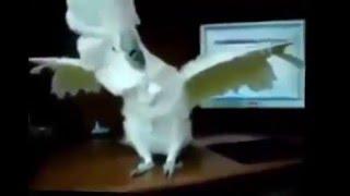 ПОПУГАИ видео ТАНЦУЮТ и ПОЮТ приколы на смешном видео(Красивый домик для любимчика - http://bit.ly/1RyTr52 Ещё больше клеток для попугаев - http://bit.ly/22ER4iW Волнистые попугаи..., 2016-03-23T11:51:52.000Z)
