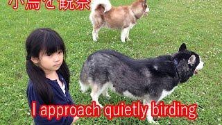 小鳥観察バードウオッチ 子供とシベリアンハスキー犬 I approach quietl...