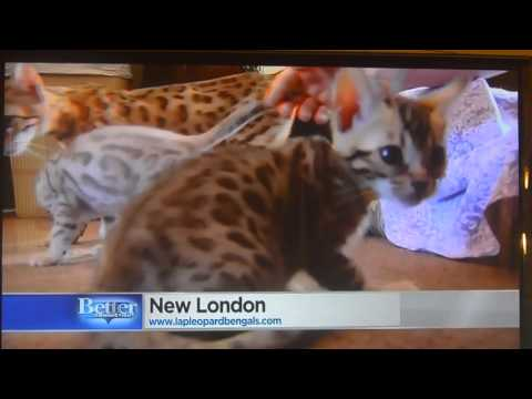 Lap Leopard Bengals - Bengal Kittens for Sale & Breeder in