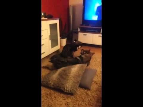 Cat and swedish vallhund