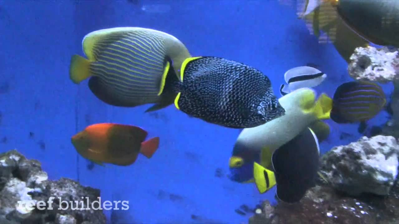 Rare saltwater fish in the aquarium of chris campbell doovi for Acclimating saltwater fish
