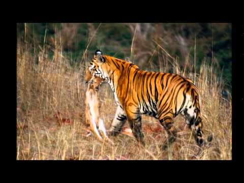 Tigers on the Food Chain