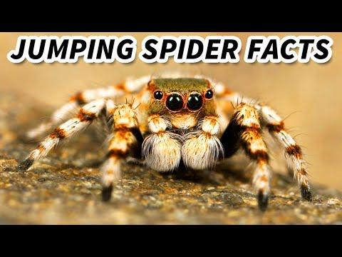 Jumping Spider | Animal Fact Files