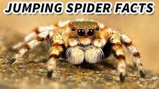 Jumping Spider   Animal Fact Files