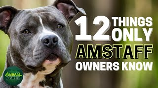 12 Things Only AmStaff Dog Owners Understand