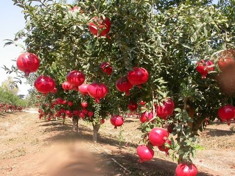 Training And Pruning Of Pomegranate Plant New Hd 2017