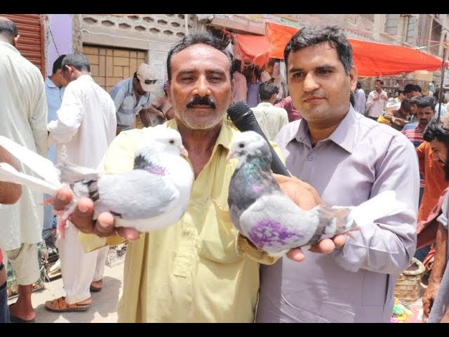 Download Pati Waley Kabootar And High Flyer Pigeons Sale