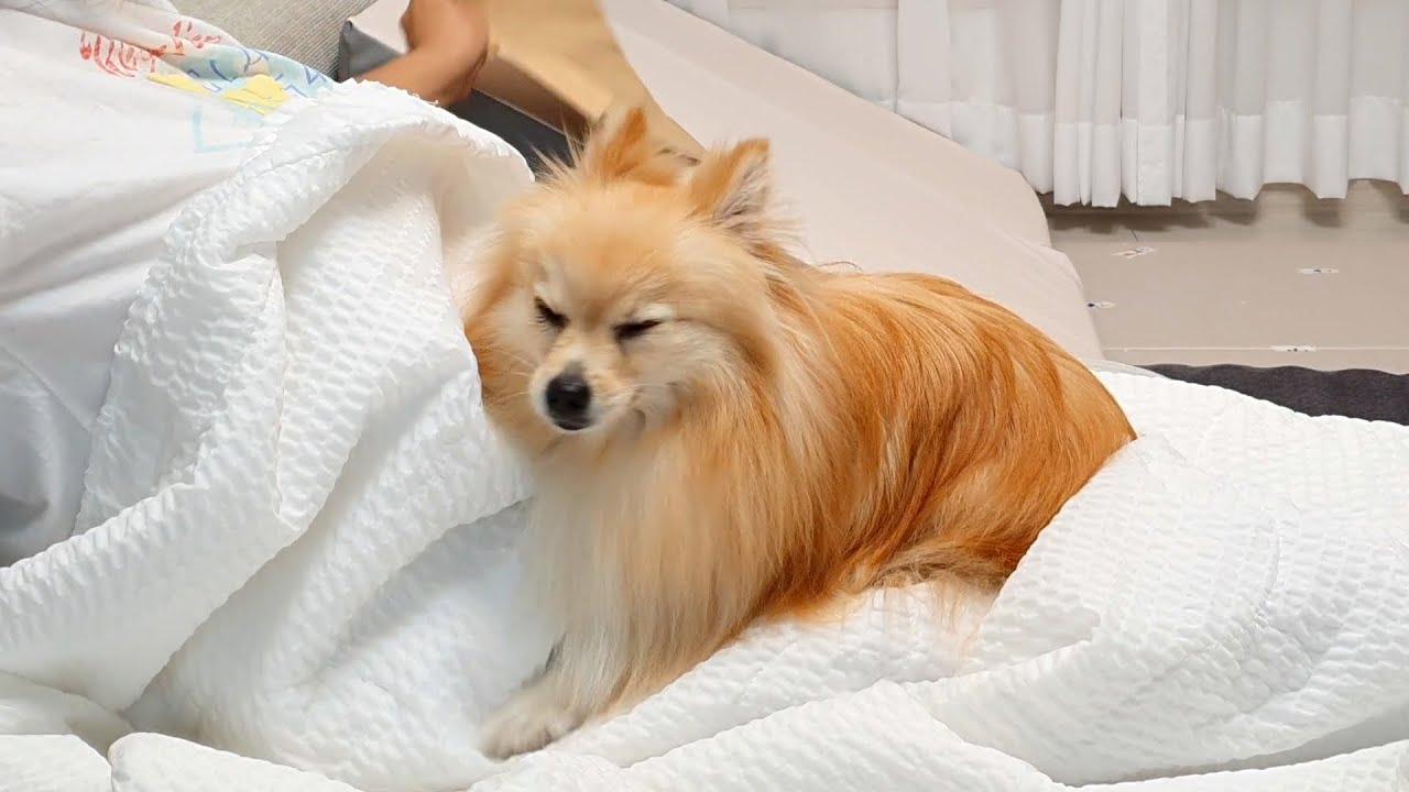 모기 때문에 잠 못 자는 강아지 (포메라니안,폼피츠,꽁이)