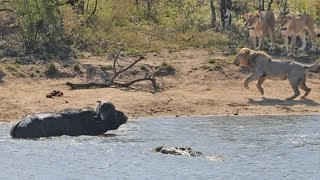 All out Kruger battle as buffalo fights lions and crocodile