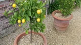 طريقة زراعة الليمون في المنزل