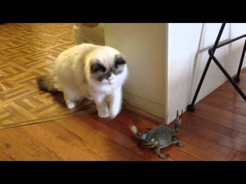 Ragdoll Cat Vs Blue Crab