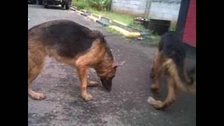 German Shepherd Jakarta