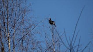 Охота на тетерева с ружьем Иж-54 в Республике Коми