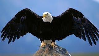 Atak orła i sokoła !!! Pokazy lotów ptaków drapieżnych