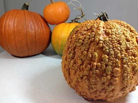How to determine the ripeness of pumpkin in the garden