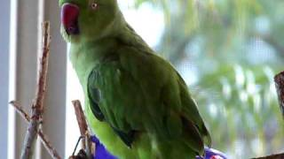 INDIAN RINGNECK PARAKEET LEARNS TO SAY PEEK A BOO