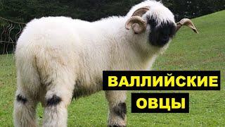 Разведение овец Валлийской породы как бизнес идея | Овцеводство | Валлийские овцы