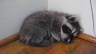 Frightened Baby Raccoon