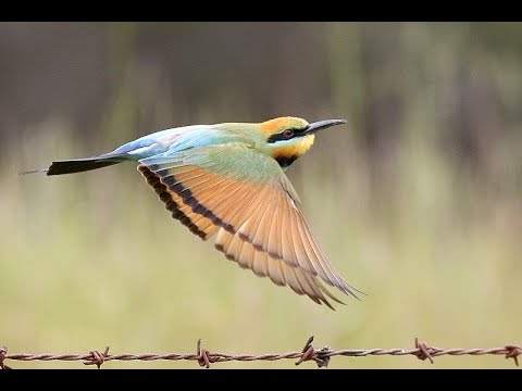 Rainbow Bee eaters nesting and feeding in North East Victoria