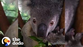Koalas Need Help Surviving Australia's Fires | The Dodo
