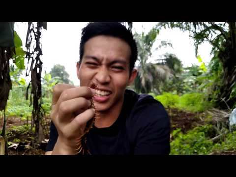 BAHAYA GIGITAN KELABANG HUTAN BESAR/SCOLOPENDRA DEHAANI (SUBSPINIPES)