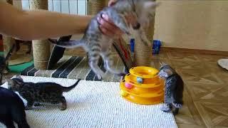 Бенгальские котята, продажа!