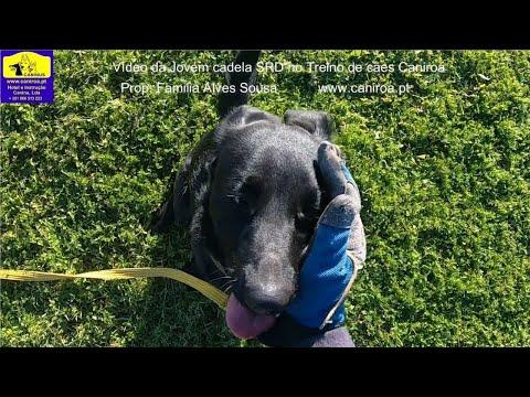Vídeo da Jovem cadela SRD no Treino de cães Caniroa