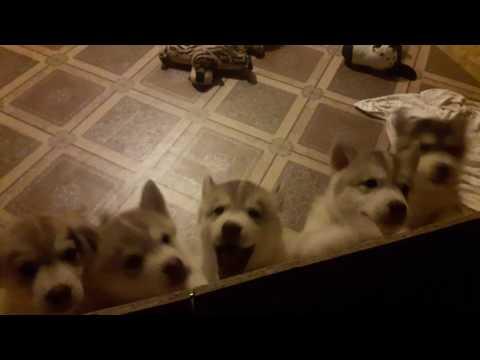 Щенки хаски встречают дома. ЗВУК!!! Щенки хаски онлайн. Husky puppy online. Всё будет Хаски!