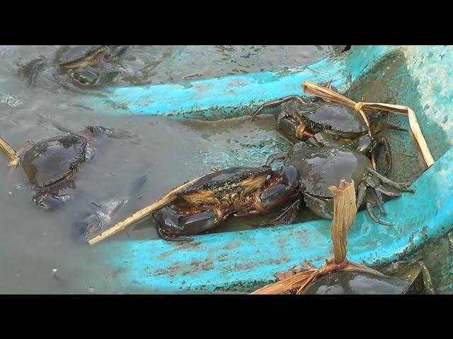 Bơi xuồng đặt bẫy bắt cua ở Miền Tây | Crab trap in Mekong Delta