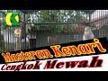 Kenari Gacor Durasi Panjang Masteran Kenari Durasi Panjang  Mp3 - Mp4 Download