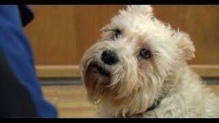 Amazing Dog Stories Loyalty - Dog Loyalty - Loyal Dog Walks Herself To The Hospital To Find Owner