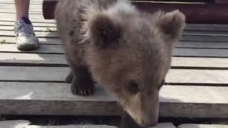 Как черный кот бурого медведя побил