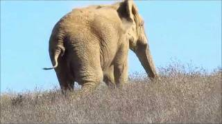 AFRICAN ELEPHANTS: Maggie, Lulu and Mara On a beautiful afternoon in late December 2011, PAWS co-founder and director, Ed Stewart, shot this video footage of PAWS African elephants Maggie, Lulu and Mara.  Ed caught Maggie and Lulu, who had been on the far side of their habitat, coming over the hill. Mara, who was already down the hill near Ed and Pat Derby, sees her two friends approach.  Let the elephant greetings begin!