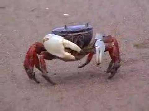 Crab at Costa Rica's pacific coast