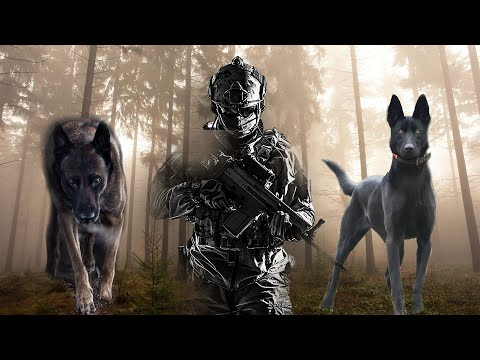 Belgian Malinois The Elite K9!