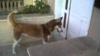 Siberian Husky Thai Playing Time
