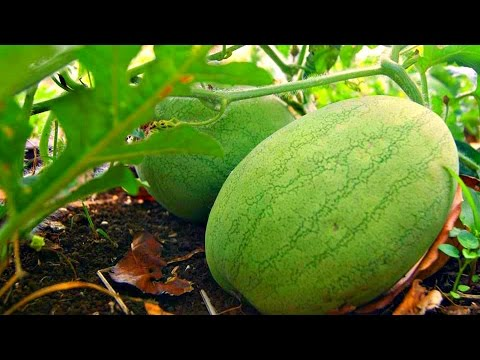 WATERMELON, SQUASH & BUTTERNUT FARMING - TONGA